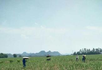 红河制糖公司开展脱毒、健康种苗 翻蔸种植新植蔗的丈量验收工作